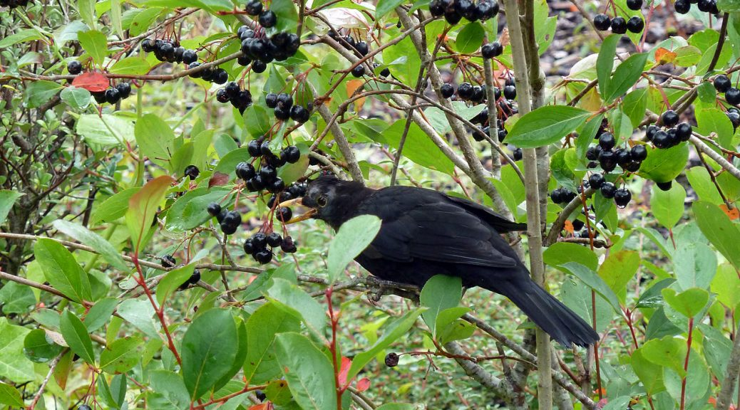 Wild Birds Love Eating Berries